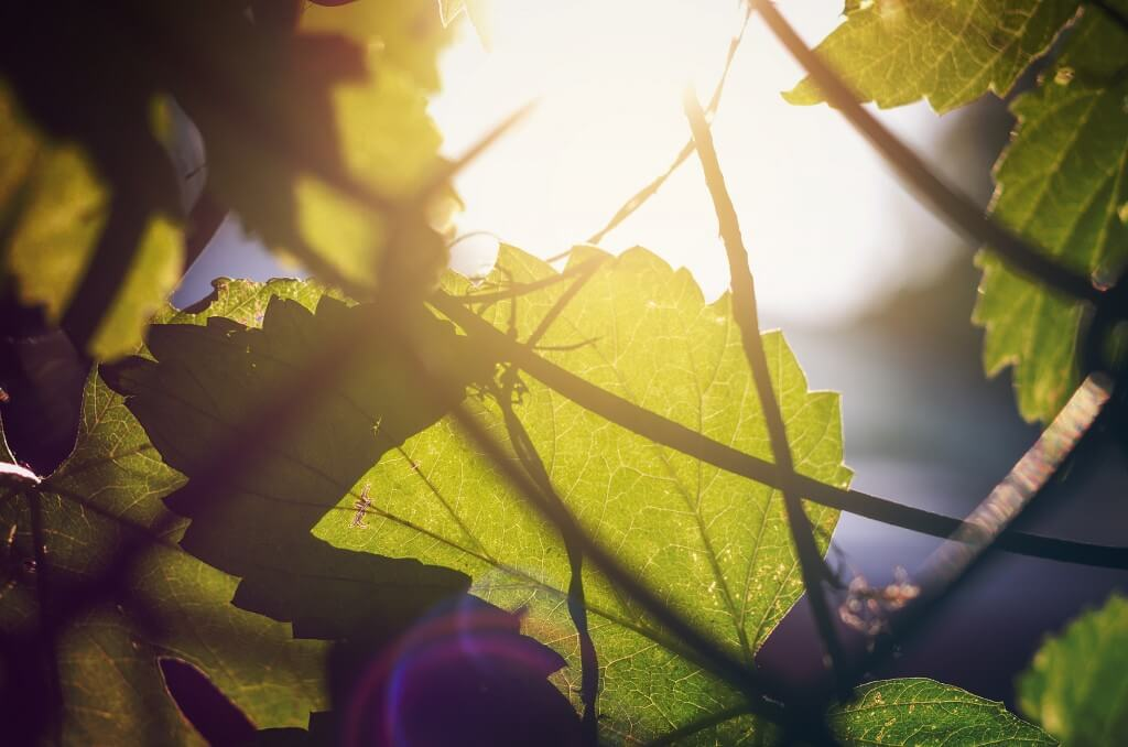 sun rays through grape leafs